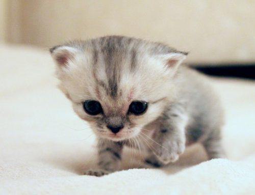 Las 5 razas de gatos más pequeños del mundo