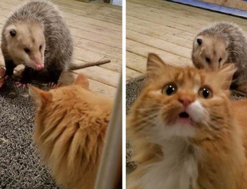 La reacción de este gato viendo cómo roban su comida causa furor en la red